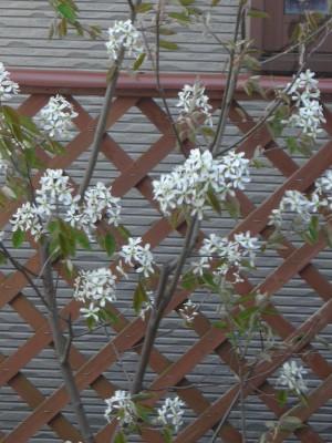 ジューンベリー 花 画像
