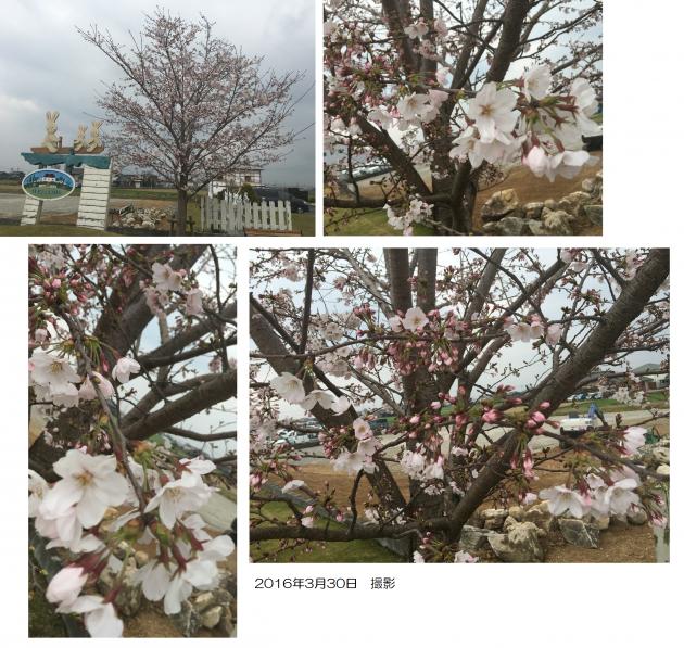 桜3月30日