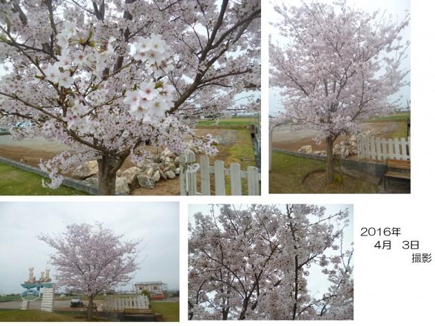 4月3日 撮影 桜